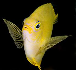 Lemon Damsel from Fiji. by Larissa Roorda 